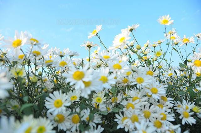 mùa thu có hoa gì đặc trưng