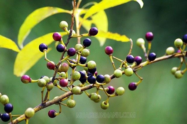 Quả cây màng tang được dùng để chiết xuất tinh dầu