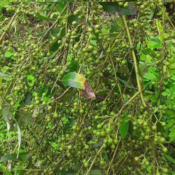 Cây màng tang tính ấm, có vị cay, hơi đắng và có mùi thơm gần giống với sả