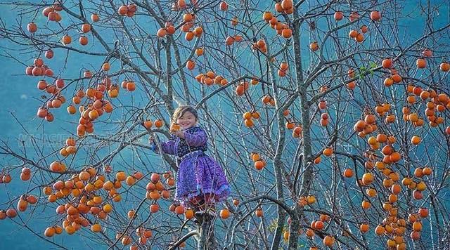 Cứ đến mùa thu là người ta lại nhớ ngay đến những quả hồng chín đỏ, thơm ngon
