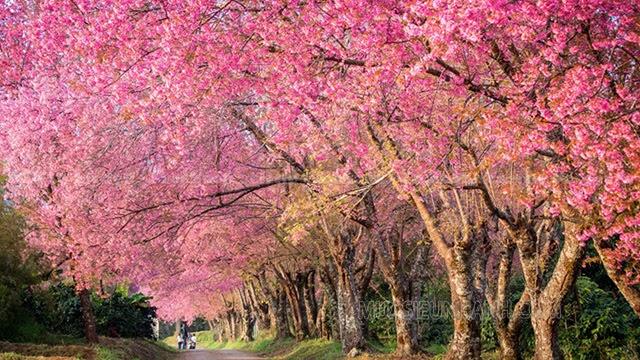 Hoa anh đào là biểu tượng của Nhật Bản