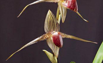 Hoa Lan Rothschild đẹp và hiếm nhất thế giới