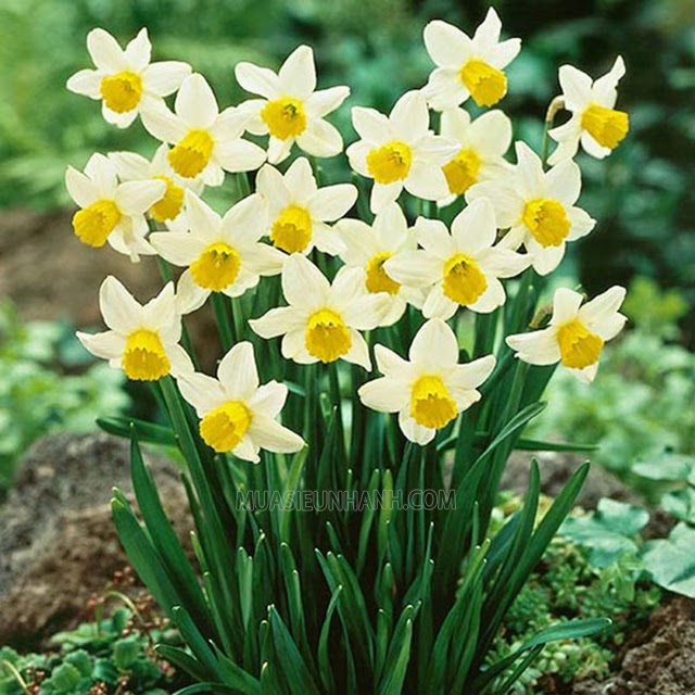Loài hoa thủy tiên xinh đẹp